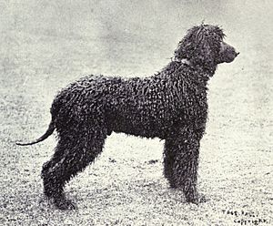Irish Water Spaniel from 1915