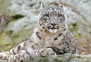 Snow Leopard Relaxed