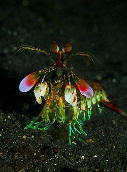 Mantis shrimp Facts for Kids