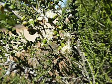 Melaleuca cardiophylla (leaves and flowers)