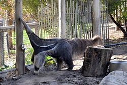 Anteater at Happy Hollow Park & Zoo