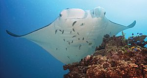 Manta alfredi at a 'cleaning station' - journal.pone.0046170.g002B