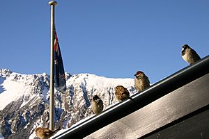 Passer domesticus -Mount Cook, New Zealand