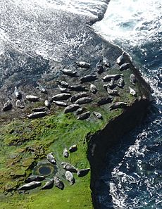 Seals hauled out by Lyrie Geo, Hoy, Orkney - geograph.org.uk - 2472901