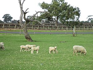 Sheep and vines.JPG