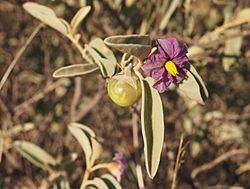 Solanum lithophilum flower and fruit