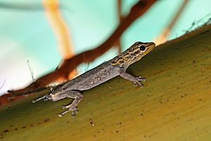 White-headed dwarf gecko