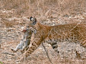 Bobcat having caught a rabbit
