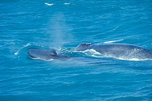 BlueWhaleWithCalf
