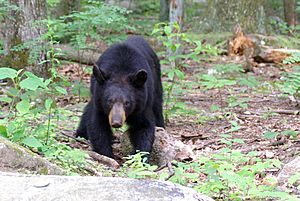 Juvenile American black bear at Old Rag mountain