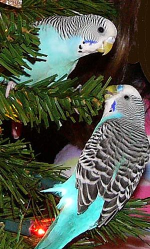 Blue Budgerigars