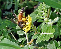 Gaint Honey Bee (Apis dorsata) on Tribulus terrestris W IMG 1020