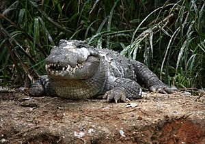 Marsh crocodile or Maggar at Ranganathittu Sanctuary (pix SShukla)