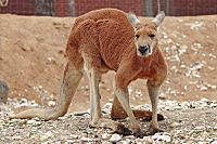 648b2ff1 Red Kangaroo. Unofficial national mammal emblems. The largest terrestrial  mammal native to Australia.