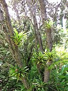 Guzmania monostachia at the Enchanting Floral Gardens of Kula, Maui