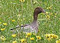 Australian Wood Duck JCB