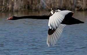 Black Swan in Flight Crop
