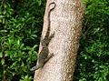 Goanna coming down a tree in our garden