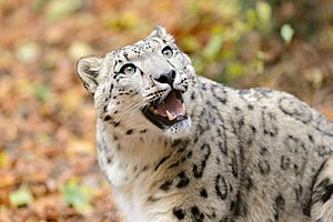 Snow Leopard Looking Up