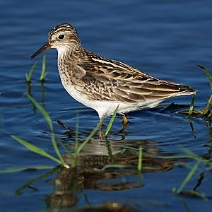 Calidris subminuta PA021275