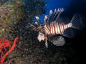Common lionfish hunting glassfish at El Mina wreck