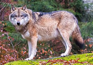 Grey wolves in Bavarian Forest National Park (cropped)