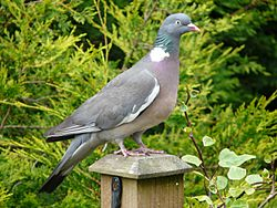 Columba palumbus -garden post-8