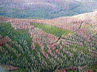 Mountain Pine Beetle damage in the Fraser Experimental Forest 2007