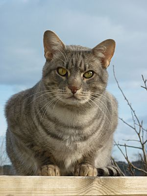 ocicat facts for kids