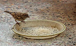 House sparrow feeding grains