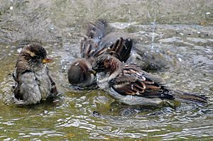 Passer domesticus -England -bathing-8