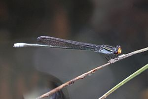 Flame-headed riverdamsel 1471.jpg