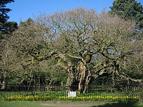 The Allerton Oak - geograph.org.uk - 1226237.jpg