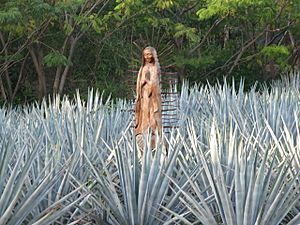 Agave tequilana (5434978642)