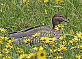 Australian Wood Duck (f) JCB