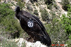 Numbered condor