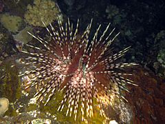 Double-spined sea urchin
