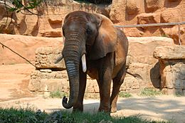 Elephant at the Greenville Zoo