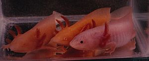 Three Colors of Axolotl