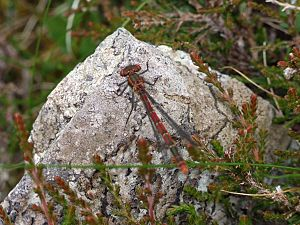 Dragonfly in Lewis