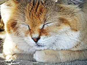 Sleeping Sand Cat, Living Desert 3-15 (16557542667)