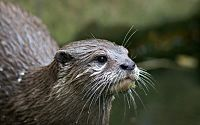Asian-small-clawed-otter.jpg