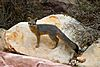 Gray Fox - Red Rock Canyon, Nevada