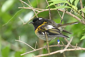Male stitchbird