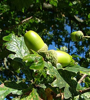 Acorns in Scotland