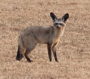 Bat eared fox Kenya crop