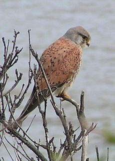 Common Kestrel 1