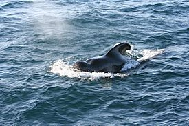 Short-finned Pilot Whale 1